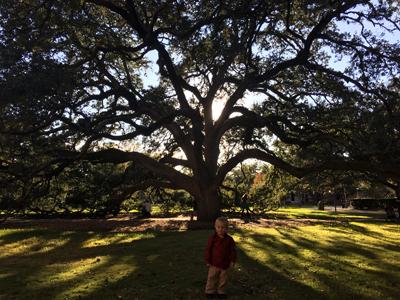 centurytree